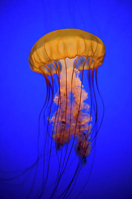 Underwater Photograph - Sea Nettle Jellyfish (chrysaora Quinquecirrha) In An Aquarium by Patrick Strattner