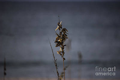 Photograph - Sea Oat by Roberta Byram