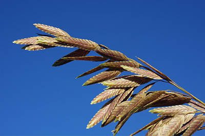 Photograph - Sea Oats by Robb Stan