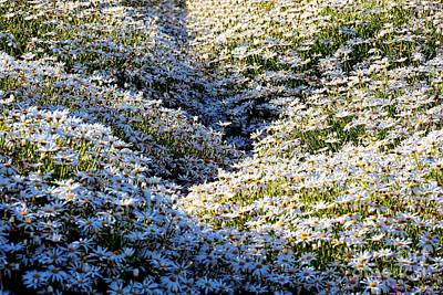 Photograph - Sea Of Blooming Daisies by Patrick Witz