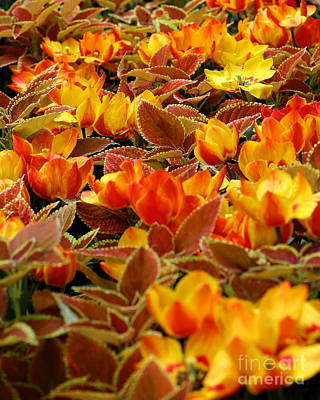 Photograph - Sea Of Bright Orange Coleus by Angela Rath