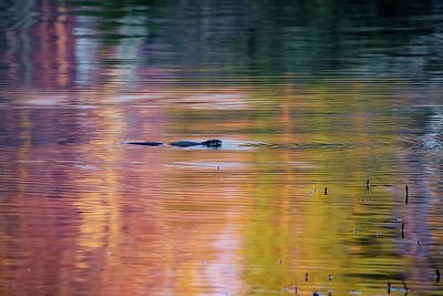 Beaver Photograph - Sea Of Color by Bill Wakeley