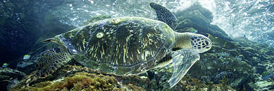 Photograph - Sea Of Cortez Green Turtle by J Gregory Sherman