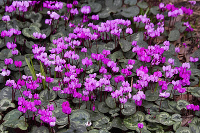 Photograph - Sea Of Cyclamen by Shirley Mitchell