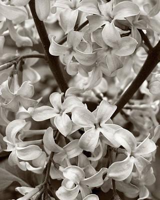 Photograph - Sea Of Lilacs Sepia by Kathi Mirto