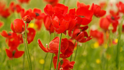 Sea Of Red Buttercups Art Print