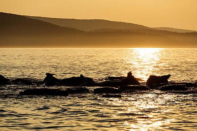 Photograph - Sea Of Seals by Gary Smith
