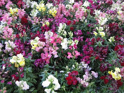 Photograph - Sea Of Snap Dragons by Therese Black