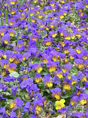 Photograph - Sea Of Violas by Jean Wright
