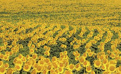 Photograph - Sea Of Yellow by Deb Buchanan