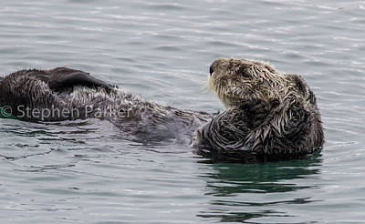 Photograph - Sea Otter At Rest  7a9647 by Stephen Parker