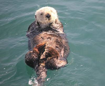 Photograph - Sea Otter by Douglas Miller