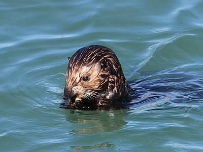 Photograph - Sea Otter Face by Gary Canant