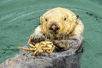 Photograph - Sea Otter Having Lunch by Tom and Pat Cory