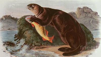Otter Painting - Sea Otter by John James Audubon