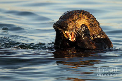 Sea Otter With A Toothache Art Print by Max Allen