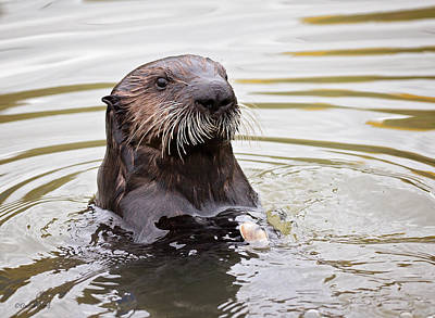 Photograph - Sea Otter With Clam by Deana Glenz