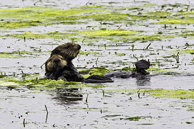 Photograph - Sea Otters 1 by Paul Riedinger