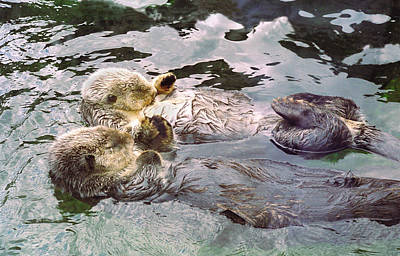 Marine Photograph - Sea Otters Holding Hands by BuffaloWorks Photography