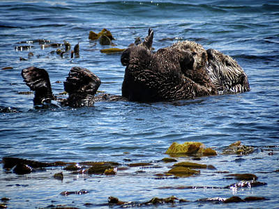 Photograph - Sea Otters Of Morro Bay 1 by Helaine Cummins