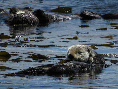 Photograph - Sea Otters Of Morro Bay 2 by Helaine Cummins