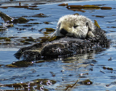 Photograph - Sea Otters Of Morro Bay 3 by Helaine Cummins