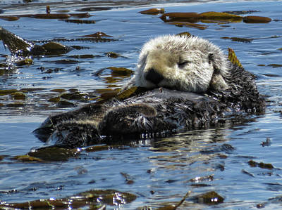Photograph - Sea Otters Of Morro Bay 4 by Helaine Cummins