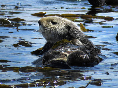 Photograph - Sea Otters Of Morro Bay 5 by Helaine Cummins