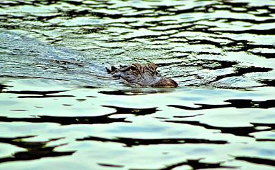 Photograph - Sea Pines Alligator by James Potts