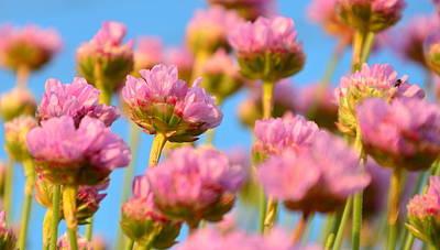 Photograph - Sea Pink by Barbara Walsh