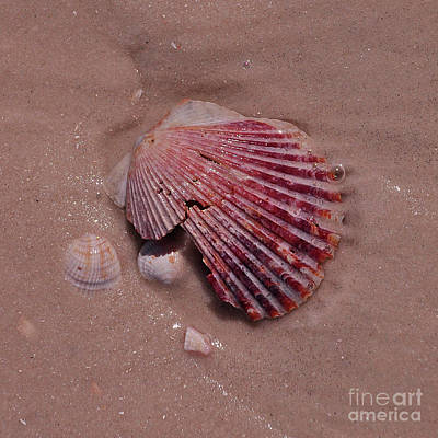 Photograph - Sea Shell 2 by Susan Cliett