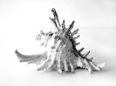 Conch Photograph - Sea Shell by Gina Dsgn