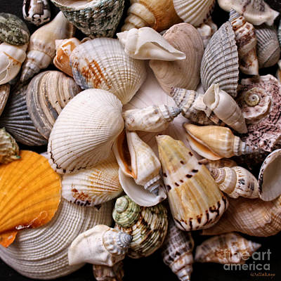 Photograph - Sea Shells Collectors Edition by Ella Kaye Dickey