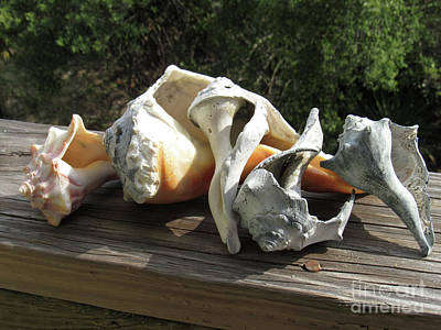 Photograph - Sea Shells by Roberta Byram