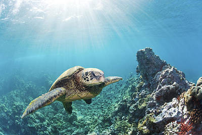 Green Sea Turtle Photograph - Sea Turtle At Maui Reef by Monica and Michael Sweet - Printscapes