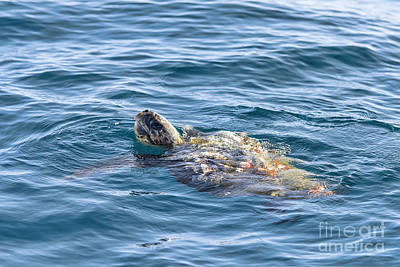 Photograph - Sea Turtle At Sea by Eddie Yerkish