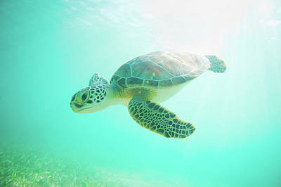 Undersea Photograph - Sea Turtle Baby by Monica and Michael Sweet