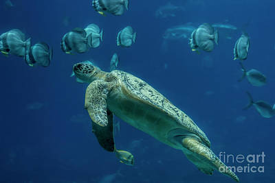 Photograph - Sea Turtle by Barbara Bowen