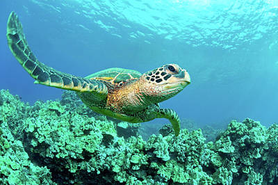Endangered Species Photograph - Sea Turtle In Coral, Hawaii by M Sweet