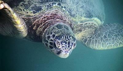 Photograph - Sea Turtle by Mario Marsilio
