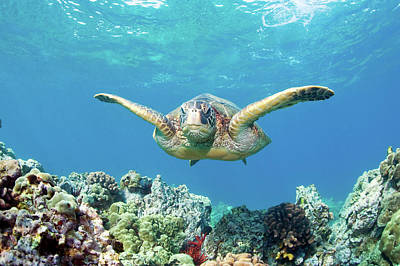 Green Sea Turtle Photograph - Sea Turtle Maui by M.M. Sweet