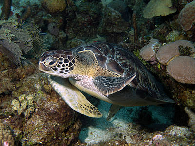 Photograph - Sea Turtle by Mauricio Riquelme