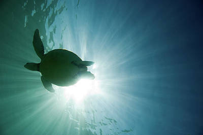 Green Sea Turtle Photograph - Sea Turtle by M.M. Sweet