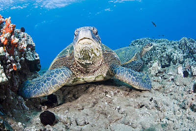 Green Sea Turtle Photograph - Sea Turtle On Reef by Dave Fleetham - Printscapes
