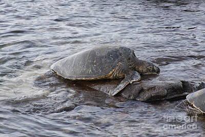Photograph - Sea Turtle On Rock by Robin Maria Pedrero