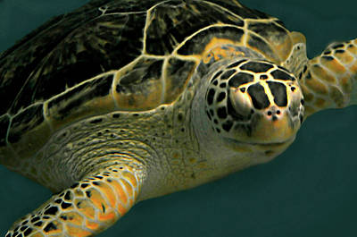 Photograph - Sea Turtle Swim by Diana Angstadt