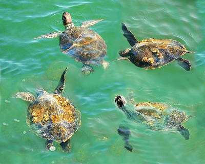 Green Sea Turtle Photograph - Sea Turtles... by W Gilroy
