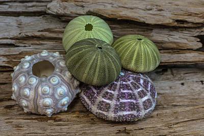Photograph - Sea Urchin Collection by Randy Walton