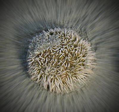 Gerald Monaco Photograph - Sea Urchin by Gerald Monaco