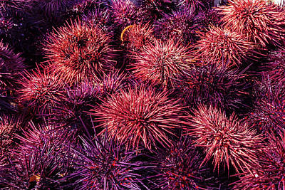 Photograph - Sea Urchin Harvest by Kathleen Bishop